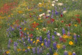 Tim Fitzharris - Wildflowers blowing in the wind, Hill Country, Texas