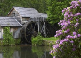 Tim Fitzharris - Rhododendron blossoming at Mabry Mill, Blue Ridge Parkway, Virginia
