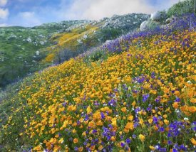 Tim Fitzharris - California Poppy and Desert Bluebell flowers, Canyon Hills, Santa Ana Mountains, California