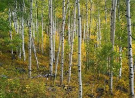 Tim Fitzharris - Aspen forest, Colorado