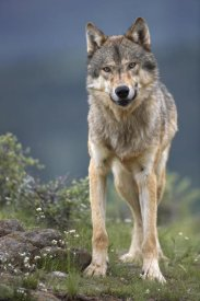 Tim Fitzharris - Gray Wolf North America