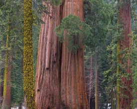 Tim Fitzharris - Giant Sequoia trees, California