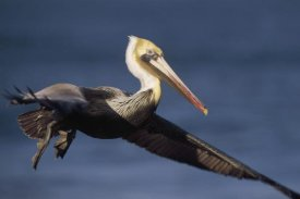 Tim Fitzharris - Brown Pelican flying, California