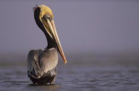 Tim Fitzharris - Brown Pelican adult portrait, Texas