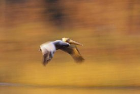 Tim Fitzharris - Brown Pelican flying, North America