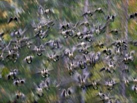 Tim Fitzharris - Canada Goose flock flying, North America