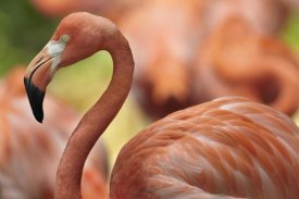 Tim Fitzharris - Greater Flamingo, Jurong Bird Park, Singapore
