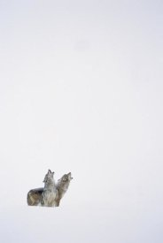 Tim Fitzharris - Timber Wolf pair howling in snow, North America