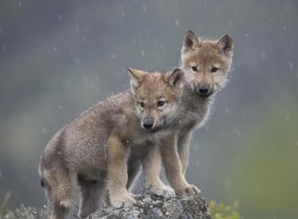 Tim Fitzharris - Gray Wolf pups in light snowfall, North America