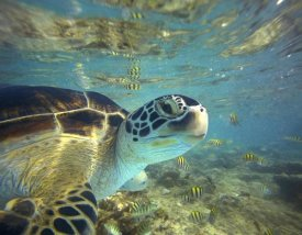 Tim Fitzharris - Green Sea Turtle, Balicasag Island, Philippines