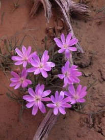 Tim Fitzharris - Desert Chicory close up of bloom, North America