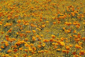 Tim Fitzharris - California Poppies and Golden Yarrow California