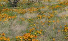Tim Fitzharris - California Poppy meadow with grasses, California