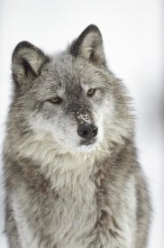 Tim Fitzharris - Timber Wolf portrait with snow on muzzle, Montana