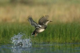 Tim Fitzharris - Gadwall duck taking flight from water, New Mexico