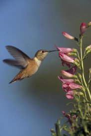 Tim Fitzharris - Rufous Hummingbird feeding on flowers, New Mexico