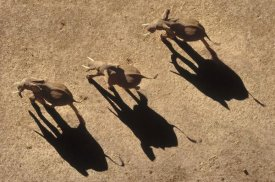 Tim Fitzharris - African Elephant trio aerial with shadows, Africa