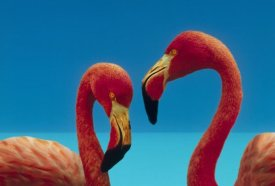 Tim Fitzharris - Greater Flamingo courting pair, Caribbean species