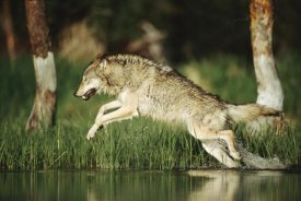 Tim Fitzharris - Timber Wolf running through shallow river, Montana