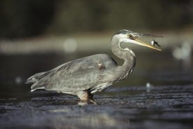 Tim Fitzharris - Great Blue Heron with captured fish, North America