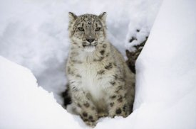 Tim Fitzharris - Snow Leopard adult portrait in snow, native to Asia