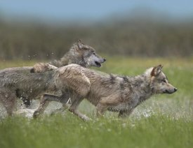 Tim Fitzharris - Gray Wolf pair running through water, North America