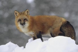 Tim Fitzharris - Red Fox standing at the top of a snow bank, Montana