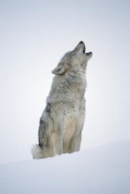 Tim Fitzharris - Timber Wolf portrait, howling in snow, North America