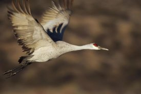 Tim Fitzharris - Sandhill Crane flying, Bosque Del Apache, New Mexico