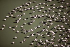 Tim Fitzharris - Lesser Flamingo group flock flying over a lake, Kenya