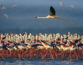 Tim Fitzharris - Lesser Flamingo flying over flock, Lake Nakuru, Kenya