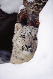 Tim Fitzharris - Snow Leopard adult, looking out from behind a snowbank