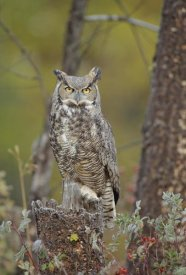 Tim Fitzharris - Great Horned Owl adult perching in tree, North America