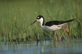 Tim Fitzharris - Black-necked Stilt wading through reeds, North America