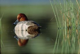 Tim Fitzharris - Redhead Duck male with reflection near reeds, Washington