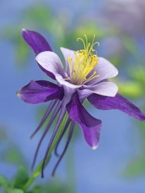 Tim Fitzharris - Colorado Blue Columbine close up of bloom, North America