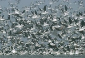 Tim Fitzharris - American Avocet flock erupting into flight, North America