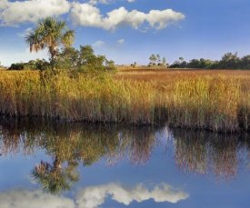 Tim Fitzharris - Cabbage Palm in wetland, Fakahatchee State Preserve, Florida