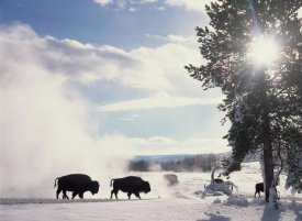 Tim Fitzharris - American Bison in winter, Yellowstone National Park, Wyoming