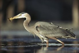 Tim Fitzharris - Great Blue Heron with captured fish, British Columbia, Canada