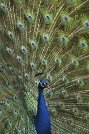 Tim Fitzharris - Indian Peafowl male with tail fanned out in courtship display
