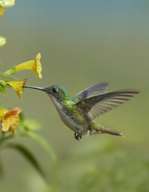 Tim Fitzharris - Andean Emerald hummingbird feeding on a yellow flower, Ecuador