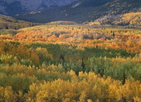 Tim Fitzharris - Aspen trees in fall colors, Gunnison National Forest, Colorado