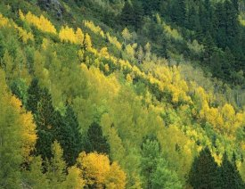 Tim Fitzharris - Aspen grove in fall colors, Gunnison National Forest, Colorado