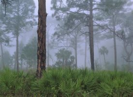 Tim Fitzharris - Saw Palmetto and Pine trees in fog, near Estero River, Florida
