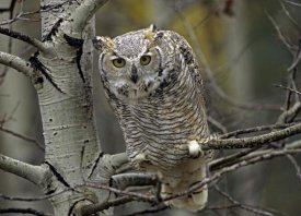 Tim Fitzharris - Great Horned Owl pale form, Kootenays, British Columbia, Canada