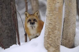 Tim Fitzharris - Red Fox looking out from behind trees in a snowy forest, Montana