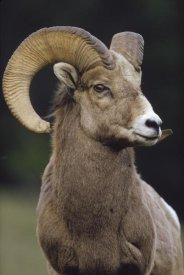 Tim Fitzharris - Bighorn Sheep male portrait, Banff National Park, Alberta, Canada