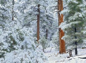 Tim Fitzharris - Ponderosa Pine forest in snow, Grand Canyon National Park, Arizona
