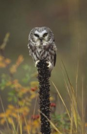Tim Fitzharris - Northern Saw-whet Owl perching on a post, British Columbia, Canada